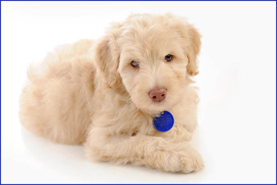Linus the Labradoodle